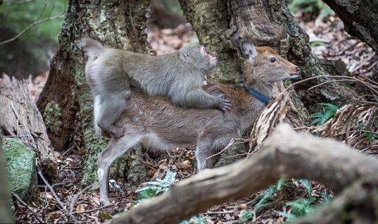 Μακάκος όνομα και πράγμα: Αρσενική μαϊμού προσπάθησε να κάνει σεξ με ένα ελάφι! (vid)