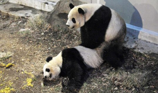 Γιγαντιαία panda ζευγάρωσαν ξανά μετά από τέσσερα χρόνια και … ανέβασαν το χρηματιστήριο του Τόκιο!