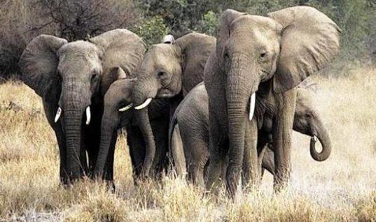 Έρευνα: Πόσες ώρες την ημέρα κοιμούνται οι ελέφαντες; Το παράδοξο με τη μνήμη τους
