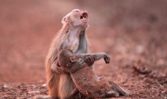 Ο θρήνος μιας μαμάς μαϊμούς σε δάσος της Ινδίας