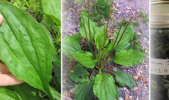 Η Γιαγιά το Αποκαλούσε «Το Φύλλο που Γιατρεύει» – Φυτρώνει σε Κάθε Κήπο και Έχει Απίστευτες Φαρμακευτικές Ιδιότητες!