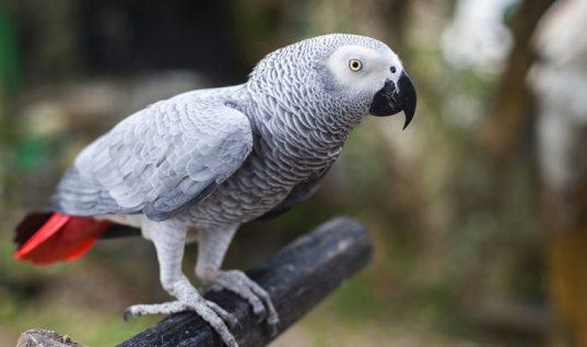 Το 'πε το 'πε ο παπαγάλος! – Δολοφόνησε τον άντρα της και το πουλί την πρόδωσε