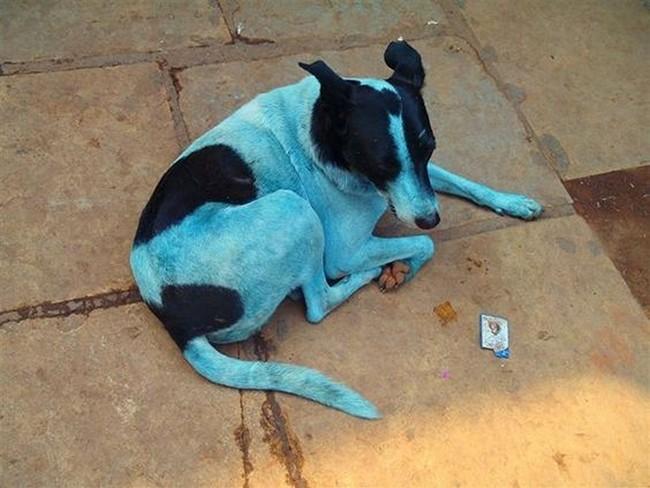 Στην Ινδία οι σκύλοι γίνονται μπλε! (εικόνες & βίντεο)